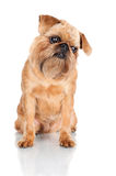 Brussels Griffon dog portrait Royalty Free Stock Photos