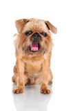 Brussels Griffon dog yawning Royalty Free Stock Photos
