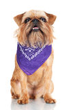 Brussels Griffon dog portrait Royalty Free Stock Images