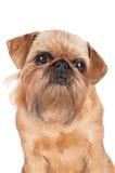 Brussels Griffon dog portrait Royalty Free Stock Photos