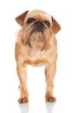 Brussels Griffon dog portrait Royalty Free Stock Image