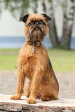 Brussels Griffon dog portrait on wooden bench. (Outdoor Stock Images