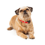 Brussels Griffon Dog Sitting Looking Up Royalty Free Stock Image