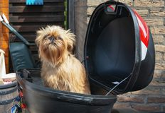 Brussels Griffon is at ease in the suitcase of a scooter.  royalty free stock photo