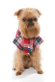 Brussels Griffon in flannel shirt Royalty Free Stock Image