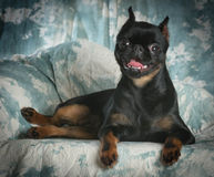 Brussels griffon Royalty Free Stock Images