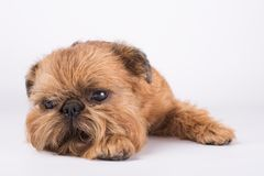 Brussels Griffon lies on a white background. Thoughtful funny dog. Bearded red dog stock image
