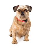 Brussels Griffon Looking at Camera Stock Image