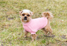 Brussels Griffon looks. Royalty Free Stock Photos