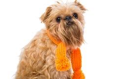 Brussels Griffon orange scarf Stock Photos