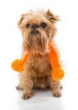 Brussels Griffon orange scarf Stock Photography