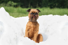 Brussels Griffon on a pile of snow Stock Image