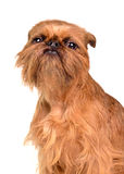 Brussels Griffon portrait Royalty Free Stock Photography