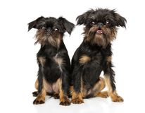 Brussels Griffon puppies sitting together. On a white background, front view royalty free stock photography