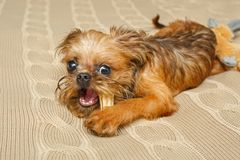 Brussels Griffon Puppy And Bone Royalty Free Stock Images