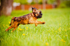 Brussels griffon puppy Royalty Free Stock Photography