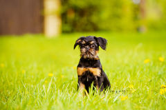 Brussels griffon puppy Stock Photography