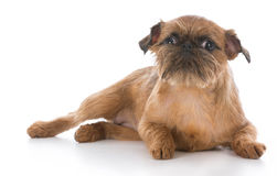 Brussels griffon puppy Stock Images