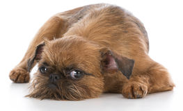 brussels griffon puppy royalty free stock images