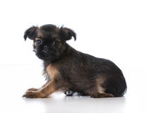 Brussels griffon puppy Royalty Free Stock Photos