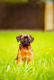 Brussels griffon puppy outdoors Stock Photos