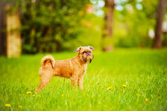 Brussels griffon puppy outdoors Royalty Free Stock Photo