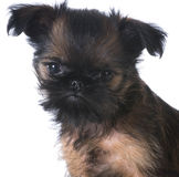 Brussels griffon Stock Image