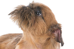 Brussels griffon puppy Royalty Free Stock Photo