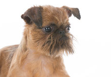 Brussels griffon puppy stock photos