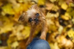 Brussels Griffon puppy for a walk. In autumn stock photo