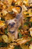 Brussels Griffon puppy for a walk. In autumn stock images