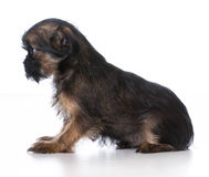 Brussels griffon puppy Stock Image