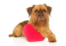 Brussels griffon with red heart. Brussels griffon with festive red heart resting on white background. Animal themes royalty free stock images