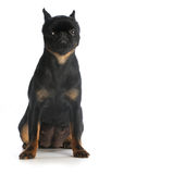 Brussels griffon Royalty Free Stock Photography