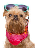Brussels Griffon in sunglasses Royalty Free Stock Photo
