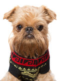 Brussels Griffon in a sweater Stock Photos