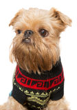 Brussels Griffon in a sweater Royalty Free Stock Photography