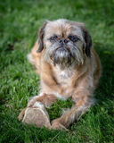 Brussels Griffon Dog Stock Photos