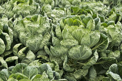Brussels Sprout Plants Royalty Free Stock Photography