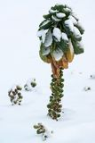 Brussels sprout in snow Royalty Free Stock Images