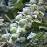Brussels sprouts Brassica oleracea on stalk at farmers market Stock Images