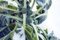 Brussels sprouts on field covered snow Stock Image