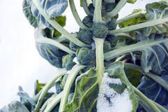 Brussels sprouts on field covered snow Stock Photo