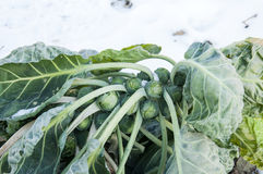 Brussels sprouts on field covered snow Royalty Free Stock Images