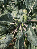Brussels Sprouts in the field Stock Photo