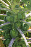 Brussels sprouts growing on a plant Royalty Free Stock Photos