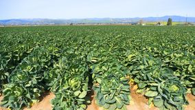 Brussels Sprouts In The Field, Ventura, CA Stock Images