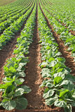Brussels Sprouts in Rows. Rows of brussels sprouts growing in Castroville, California Stock Photography