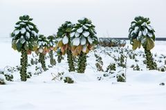 Brussels sprouts in snow Stock Photography