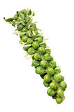 Brussels Sprouts Stalk. An isolated Brussels sprouts stalk Stock Photos